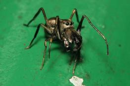 مدهش ...اكتشاف عناكب تغذّي صغارها بالرضاعة
