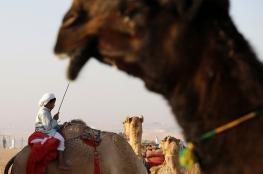"""3 ملايين دولار للفائز بلقب """" ملك جمال الابل """" في السعودية"""
