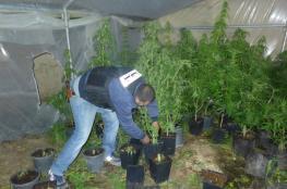 الاجهزة الامنية تضبط مستنبت للمخدرات في بلدة سعير شمال الخليل