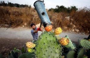 جانب من موسم قطف ثمار الصبر في فلسطين