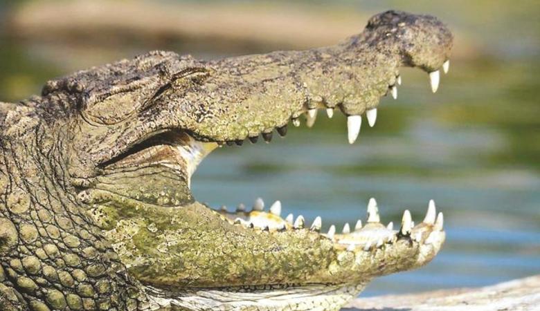 تمساح يفترس أخطر كلب في العالم