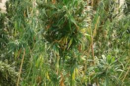 ضبط أكثر من ألف شتلة مخدرات بمزرعة في أريحا