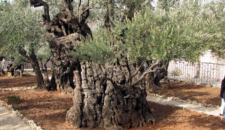 حملة تركية لغرس 10 آلاف شجرة زيتون في القدس