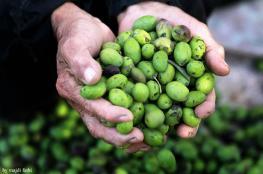 طولكرم: حملة للمساعدة في قطف ثمار الزيتون في المناطق القريبة من الجدار