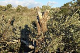 مستوطنون يقتلعون 30 شجرة زيتون في ترمسعيا شرق رام الله