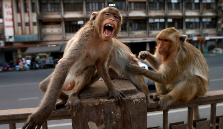 عصابات القردة تهزم شرطة تايلاند وتستولي على مدينة بأكملها