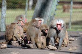ذعر في باريس بعد فرار عشرات القرود من حديقة حيوانات