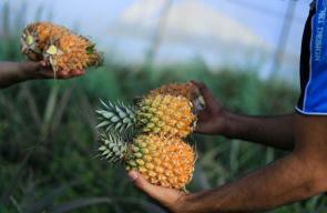 جانب من زراعة الاناناس في بلدة الزبابدة بمحافظة جنين