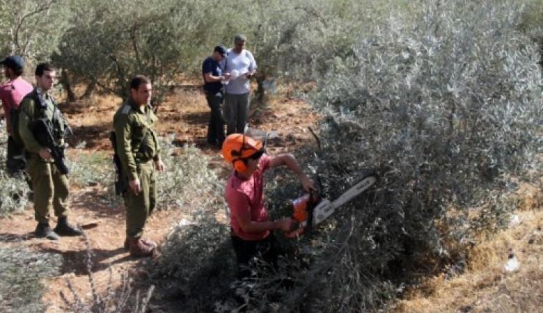 طوباس: الاحتلال يقتلع عشرات أشجار الزيتون ويهدم آبارا لجمع المياه