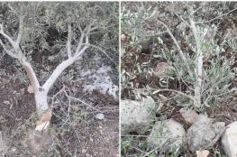 جنين : المستوطنون يهاجمون عرابة ويقطعون 100 شجرة زيتون