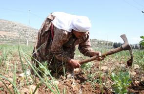 مواطن من قرية الساوية جنوب نابلس اثناء عملها اليومي في أرضها