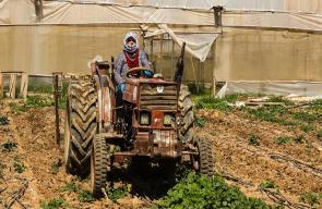 - المزارعة اتحاد عياد تقود جرارها الزراعي وتجني المحاصيل في مزرعتها بأريحا
