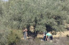 المستوطنون يسرقون ثمار 280 شجرة زيتون غرب نابلس