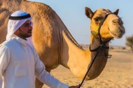 السعودية ترحل الإبل والأغنام القطرية