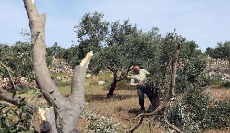 مستوطنون يقطعون المئات من أشجار الزيتون المعمرة جنوب غرب بيت لحم
