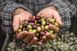الزراعة تسمح لمصانع الخليل باستيراد الزيتون