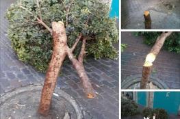 سبب لا يصدق وراء تقطيع الاشجار وسط بيت لحم قبل يومين !