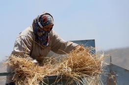 الاحتلال يمنع مزارعين من حصاد 250 دونماً من القمح في جالود جنوب نابلس