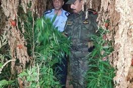 الامن الفلسطيني يضبط مشتل لزراعة المخدرات غرب سلفيت