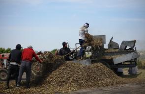 الفلاحون في جنين يبدأون بجني محصول الفريكة بالطرق التقليدية في بيادر قرية عجة