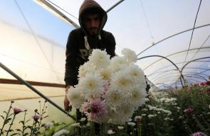 قطف الزهور في خان يونس جنوب قطاع غزة، استعدادًا لتصديرها