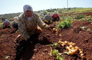 مزارعون يجمعون ثمار البطاطا، من أحد الحقول  في محافظة طوباس.
