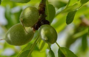 موسم اللوز الأخضر في رام الله