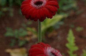زراعة الورود الطبيعية في طولكرم
