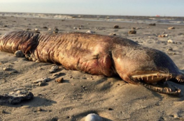 """أخيرا.. التوصل لحقيقة """"مخلوق البحر الغامض"""" الذي عثر عليه بعد اعصار هارفي"""