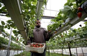 جانب من موسم قطف ثمار الفراولة في طولكرم