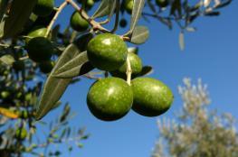 المستوطنون يعدمون أشجار الزيتون بالمياه العادمة شرق نابلس