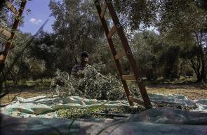 من موسم قطف الزيتون في قطاع غزة