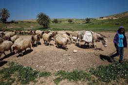 مستوطنون يطاردون رعاة الأغنام في الأغوار الشمالية