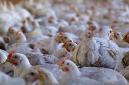 البيض الفلسطي خال من الأمراض