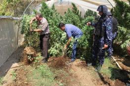 """الخليل : الشرطة تعلن عن ضبط  """" 1200 """" شتلة مارغوانا مخدرة"""