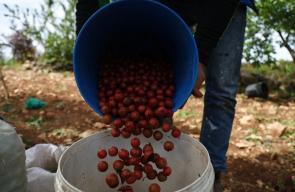 موسم قطف ثمار الكرز في جنين شمال الضفة الغربية