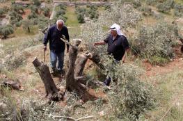 المستوطنون يحطمون 50 شجرة زيتون جنوب بيت لحم