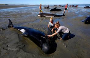 انتحار حماعي لمئات الحيتان على  شواطئ نيوزيلاندا