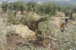 مستوطنون يقطعون 20 شجرة زيتون جنوب نابلس