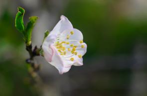 تفتح أزهار اللوز في رام الله