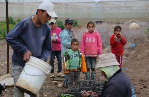 اطفال يساعدون اهاليهم في قطف الفلفل الحار في منطقة اريحا