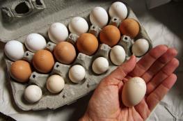 شركة تعلن عن وظائف براتب 10 دولارات وعلاوة تحفيزية 144 بيضة