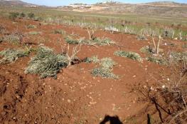 المستوطنون يقتلعون عشرات أشجار الزيتون  في ترمسعيا برام الله