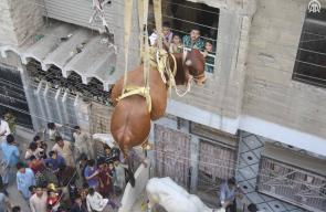 باكستاني يستعين برافعة لإنزال الأضاحي، التي يربيها من على سطح منزله بمشهد لافت