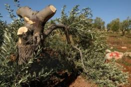مستوطنون يقطعون 50 شجرة زيتون جنوب نابلس