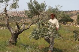 المستوطنون يقطعون 30 شجرة زيتون جنوب الخليل