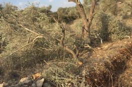 المستوطنون يقطعون 40 شجرة زيتون في الساوية جنوب نابلس