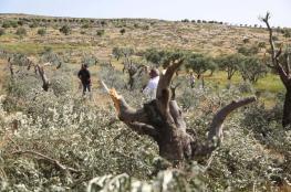 مستوطنون يقطعون 40 شجرة زيتون جنوب نابلس