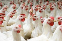 وزارتي الزراعة والأقتصاد : سعر الدجاج سيتم نشره بالتوافق خلال أيام