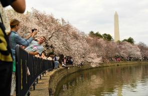 أمريكيون يتوجهون لالتقاط الصور مع أزهار الكرز
